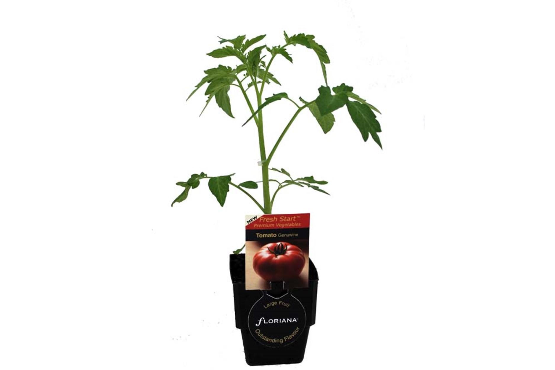 Tomato Genuwine