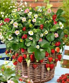 Strawberry Montana