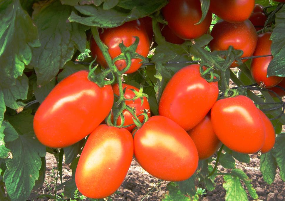 Tomato Mini Roma Truss