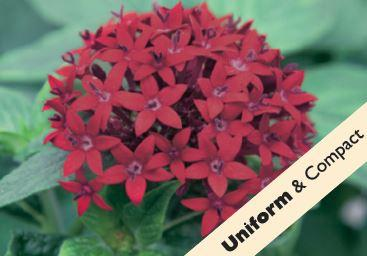 Pentas Dark Red