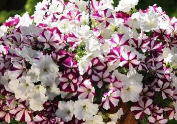 Petunia Crazy Starfish Mix