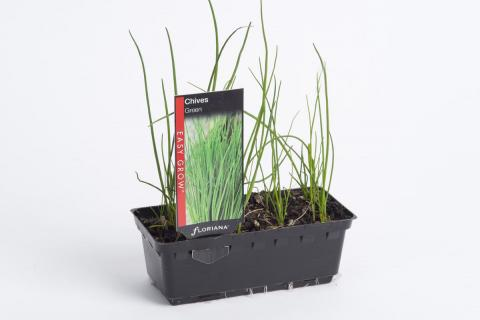 Chives Green