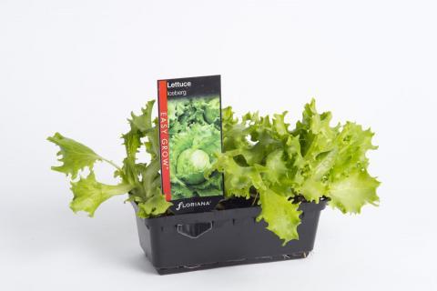 Lettuce Iceburg