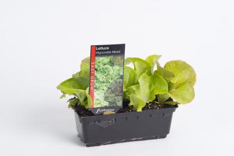 Lettuce Mignonette Mixed