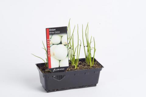 Onion White Globe