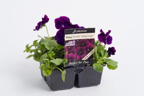 Plentifall Trailing Purple
