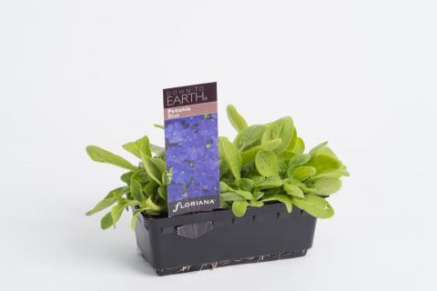 Petunia Blue