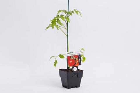 Tomato Apollo